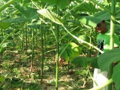 Пауловния за биомаса